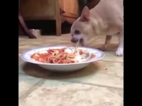 Dog Eats Spaghetti And Coughs Up Meatball