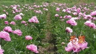 芍薬花摘み