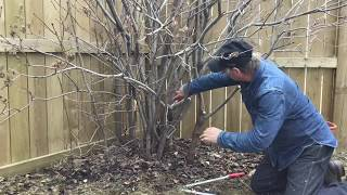How To Prune A Lilac - Tree Pruning Calgary - Arborist Kevin Lee Of KRL Tree Service