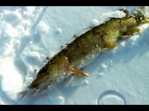 Аквариум глисты у рыбы