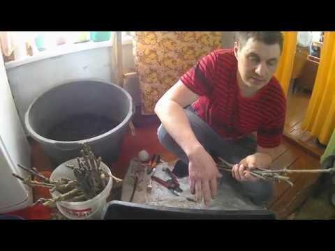 Черенки винограда//Подготовка к укоренению