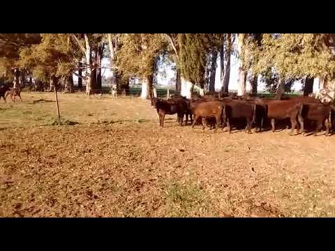80 terneros machos y hembras en Santa Fe
