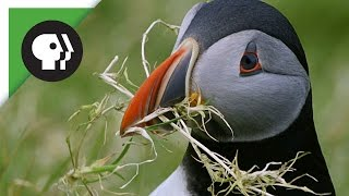 Puffins Pick the Perfect Home
