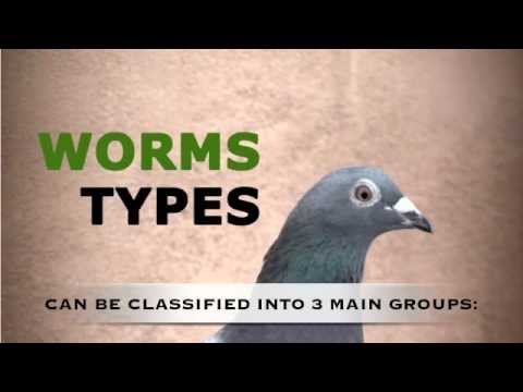 RACING PIGEON TIPS THE CHAMPIONS KNOW - تنزيل يوتيوب