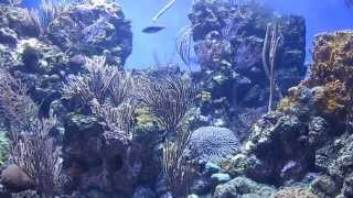 Caribbean Coral Reef Steinhart Aquarium California Academy of Sciences San Francisco October 2013