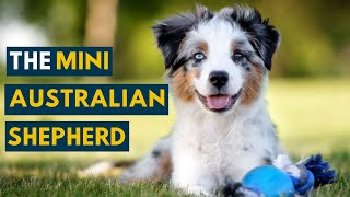 This Is Why the Mini Australian Shepherd Is So popular!