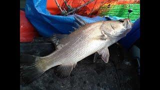 Kuala Lukut fishing - our first wild siakap (barra)!, massive boiling selangat (gizzard shad)