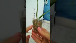 Три новые орхидеи. Мой первый младенец азиат Сапфир. Лучшие условия для новичков)))