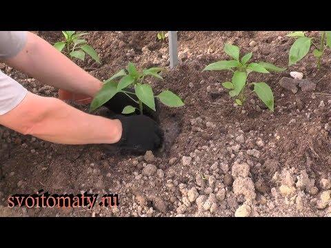 Как быстро вырастить качественную рассаду перца