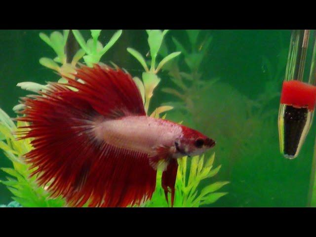 Watch A Male Betta Fighting Fish Show Off