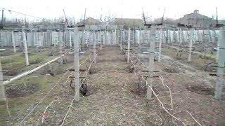 Первая профилактическая обработка винограда от болезней.