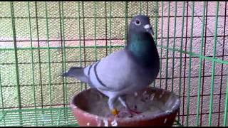 supercrack racing pigeons - मुफ्त ऑनलाइन वीडियो