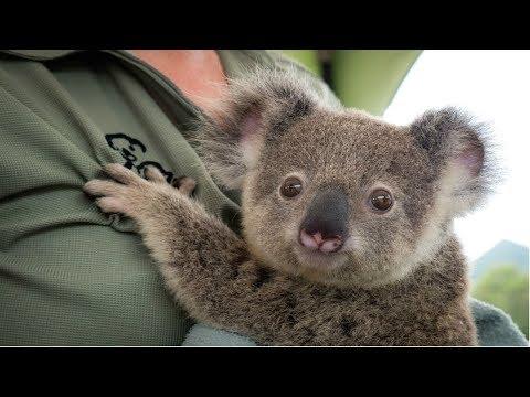 KOALA - A Cute Koala Videos And Funny Koala Bear Compilation || PETS And ANIMALS