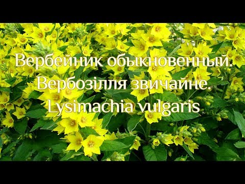 Вербейник обыкновенный. Вербозілля звичайне. Lysimachia vulgaris