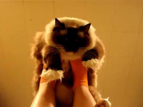 Ragdoll Cat Airplane! – Ragdoll Cat Caymus Playing Airplane – ラグドール Floppycats