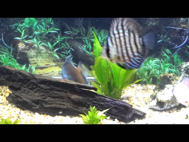 my black arowana and discus fish tank update