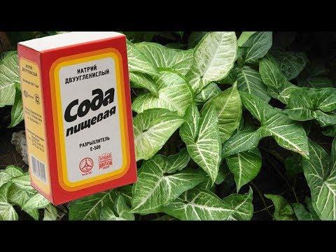 СОДА для пользы растений? Малоизвестное применение соды в цветоводстве.