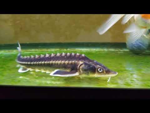 Para sa washing worm bawang na may gatas