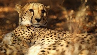 Cheetahs are close to becoming extinct