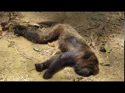 Cerca de 70 macacos foram mortos por pessoas em Ibiúna