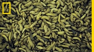 The Bugs That Decompose Bodies and Help Solve CSI Secrets | National Geographic