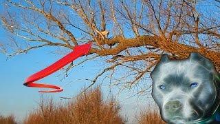Стаффы - дотянутся до небес! Позетив) Staffordshire terrier