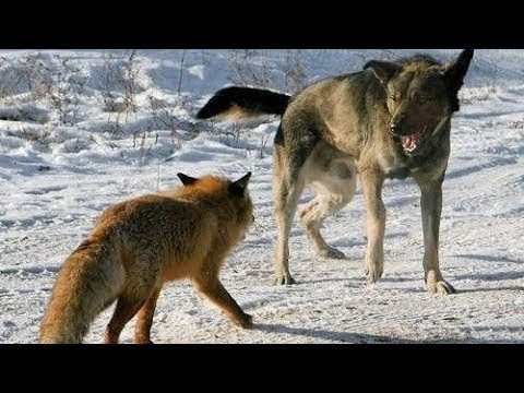 Brave Fox Fights Off A Pack Of Stray Dogs!!!