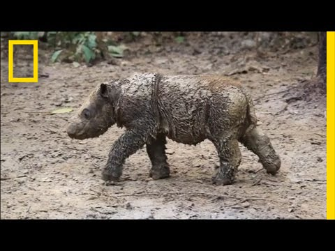 Baby Sumatran Rhino Is Indonesia's First Born in Captivity | National Geographic thumbnail