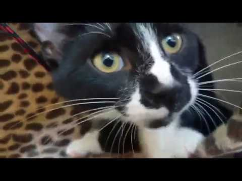 Sterling, an adopted Domestic Short Hair in Boiling Springs, PA