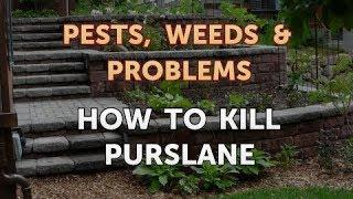 How to Kill Purslane