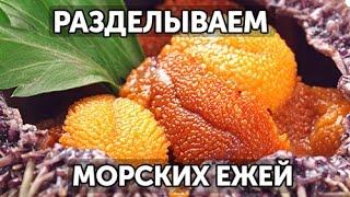 Как разделать морских ежей. 2 способа  | Готовим вместе - Деликатеска.ру