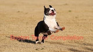 Boston Terrier Compilation