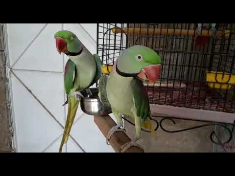 BEST   TALKING PARROT   PARADISE BIRDS INFORMATION OFFICIAL _ Youtube