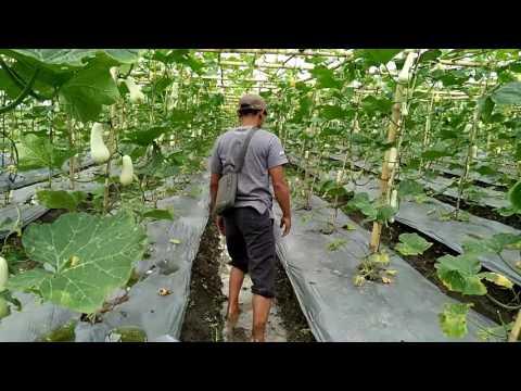 Video Indonesia Butternut Squash