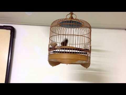 Тимелия земляная белобрюхаяSpot throated Babbler Pellorneum albiventre