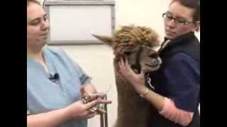 Removing Fighting Teeth in Alpacas and Camelids