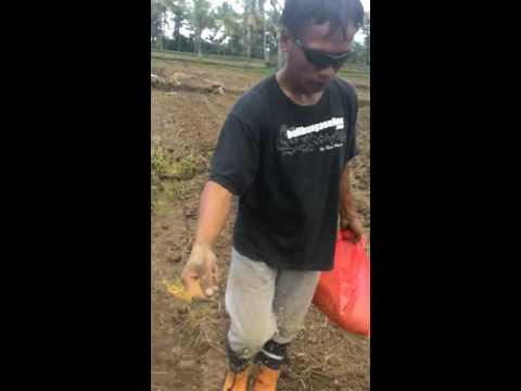 Video Ngasih umpan serangga tanah orong orong gangsir uret