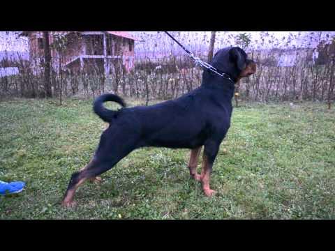 Jolly Alpha Canis Rott