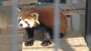 レッサーパンダの『ハルマキ』市川市動植物園2018年3月4日