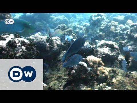 Papageifische schützen Korallenriffe
