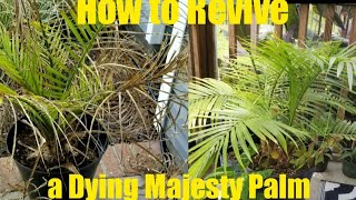 #indoorpalm #majestypalm How to Revive a Dying Majesty Palm