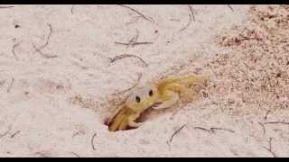 preview picture of video 'Cwabby the Sand Crab of St Croix'