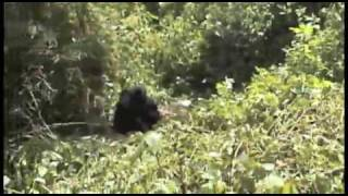preview picture of video 'Mountain Gorillas in Rwanda'