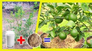Special fertilizer for lemon plant || best organic fertilizer for lemon tree