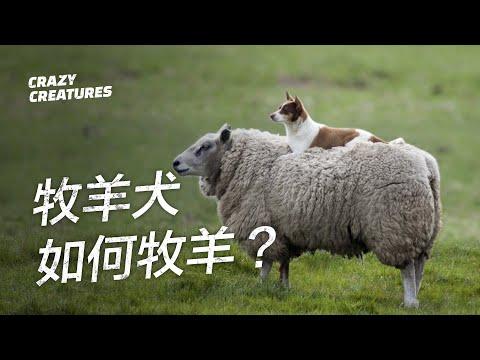 , title : '一隻牧羊犬如何放養數百隻羊?| 奇怪動物紀錄片