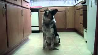Смотреть онлайн Самая умная собака в мире