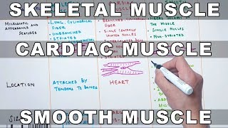 Skeletal Muscle , Cardiac Muscle and Smooth Muscle | Characteristics and Differences