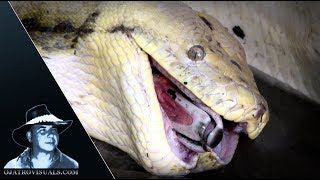 Python Eats Invasive Muscovy Duck 03