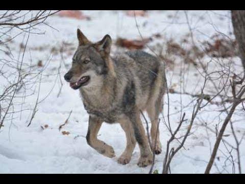 , title : 'Koexistenz Mensch-Wolf: Realismus oder Utopie?'