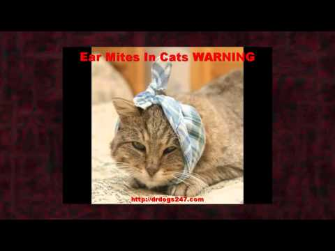 Video Ear Mites In Cats WARNING on Treatment For Cat Ear Mites